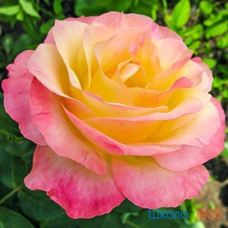 "Акция ""Подари розу учителю"""